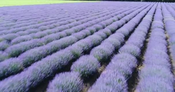 4k Aerial View Lavender Field Purple Flowers Beautiful Agriculture.  Top view lavender field near Balchik, Bulgaria