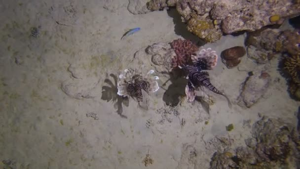 Lion Fish Hunting at night at a colorful coral reef. Full HD underwater footage.