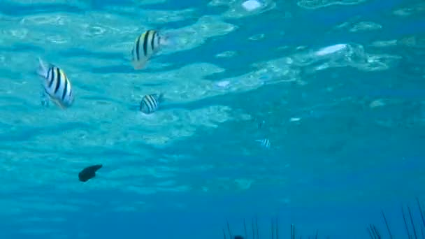 Red sea fish Abudefduf vaigiensis at deep blue water, Red sea, Egypt. Full HD underwater footage.