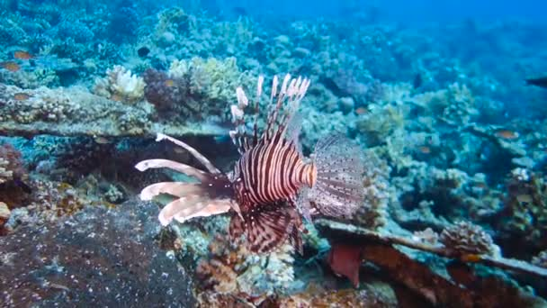Lion Fish Hunting at a colorful coral reef. Full HD underwater footage.