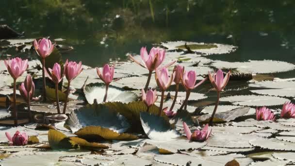 Blízko velké růžové lotosové květiny.