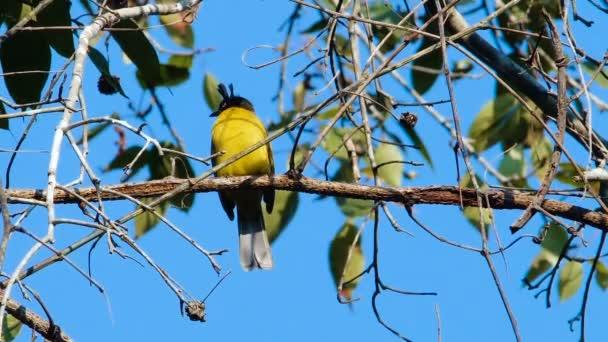 Schwarzkopfbulbul (pycnonotus flaviventris) Vogel sitzt auf einem Ast im Khao yai Nationalpark. Thailand.
