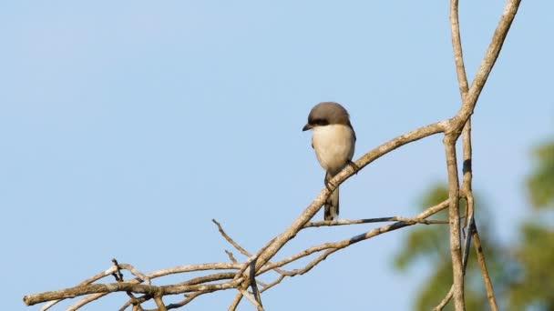 Würger - Vogel sitzt auf einem Ast im thailändischen Khao yai Nationalpark.