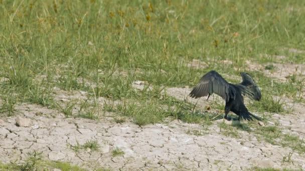 Fekete Cormorant nyitja szárnyak száraz tollazat és toll. Gyönyörű vadvilág természet hosszúság.