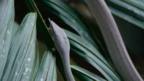 Közelről lassított videó-ázsiai Vine Snake Ahaetulla prasina fekszik a fán branchover a folyón. Fehér morph a Khao Yai Nemzeti Parkban.