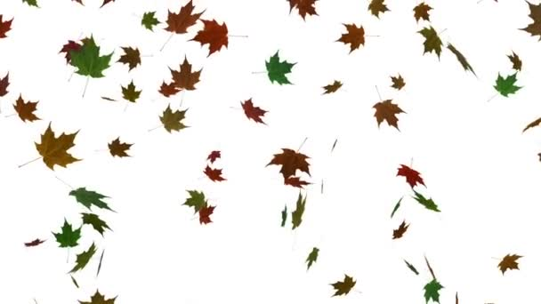 Falling maple leaves white background animation. Autmn fall. Seamless looping animation.