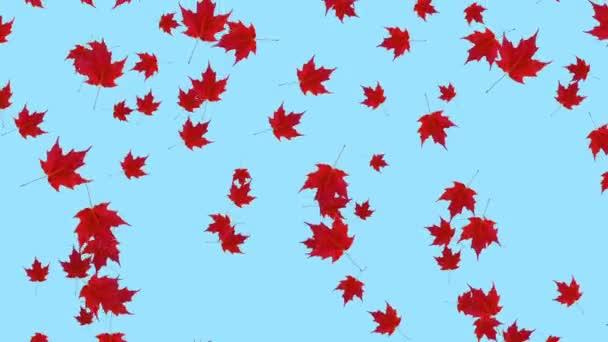Padající Javorová červená zanechává modrou pozadí. Autmn spadl. Plynulá smyčka animace.