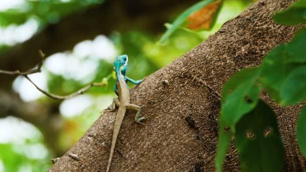 Indicko-čínská lesní ještěrka nebo ještěrka z modrého krému na stromě během plemenné sezóny.