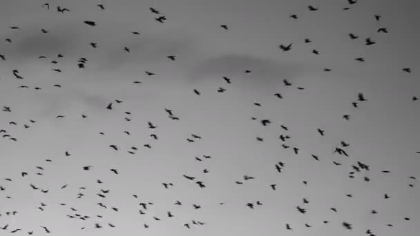 Flock of birds flying at sunset against sky with clouds. Large group of small birds flying close together hunting insects. Stylized gray tint color.