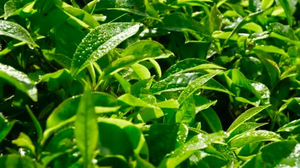 Zelený čaj, čerstvé listy. Čajové plantáže