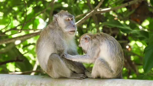 Dvě dospělé opice s dlouhým ocasem, které hledají štěnice. Hledám klíště a uklízení. Thajsko.