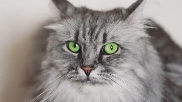 Portrét roztomilé šedé nadýchané kočky se zelenýma očima odpočívající na gauči