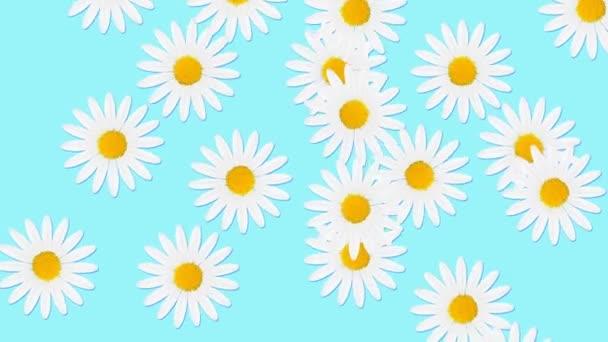 Minimální animace pohybového designu. Heřmánkové květy padající na barevné pozadí. Abstraktní grafika v módních barvách a stylu. Bezproblémová animace smyčky.