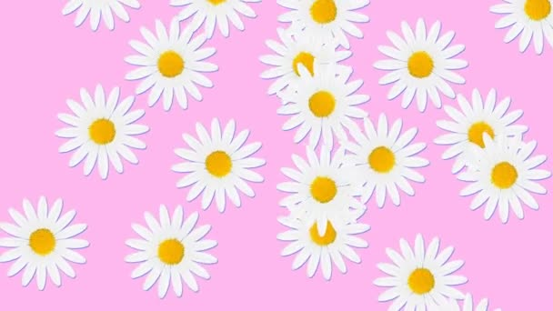Minimal motion design animation. Chamomile flowers falling at color background. Abstract graphics in trendy colors and style. Seamless looping animation.