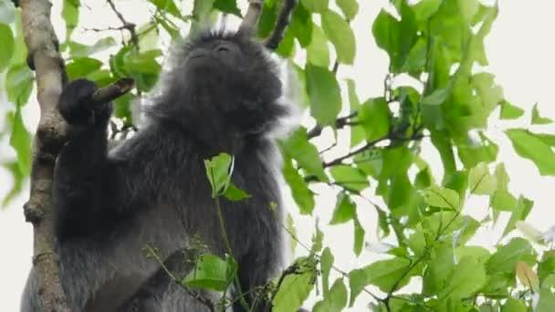 Stříbrná lutung, také známý jako stříbřitý listí opice nebo stříbřitý langur krmení na stromě v Bako National Park, Malajsie. Záběry divoké přírody.