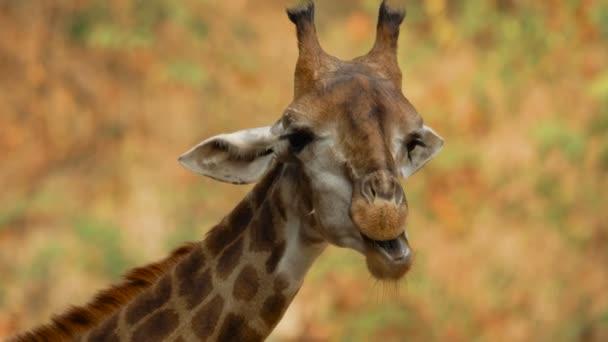 Közelíts meg egy vicces zsiráfot, ami leveleket rágcsál. Vadon élő állatok és természet állomány felvételek.