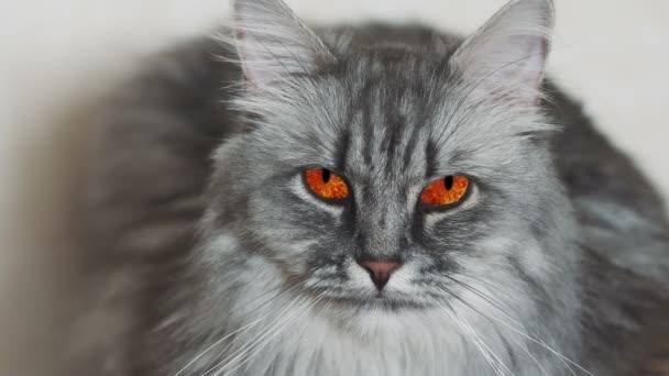 Kino šedé kočky s červenýma očima, pozorující, hypnotizující pohled. Loopable cinemagraph plotagraph effect.