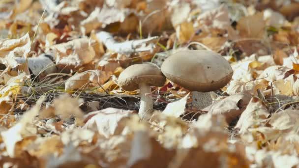 Detailní pohled na jedlé lesní houby - Hnědá boletus houba rostoucí v podzimním lese s přírodně žlutým pozadím