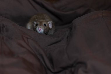 funny pet rat playing and eating cheese on blanket