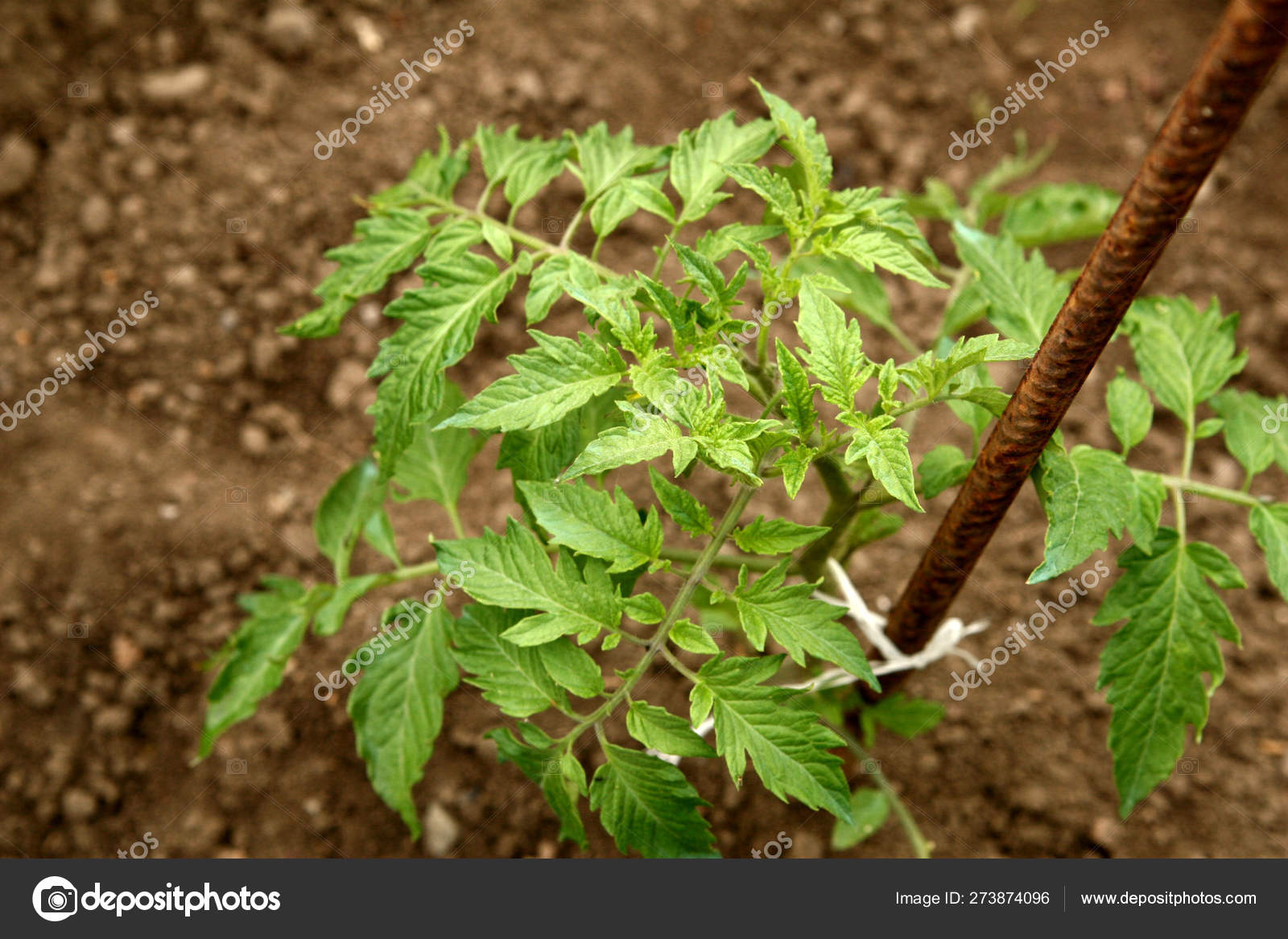 Young organic tomato seedlings grow in the ground  Tomato
