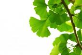 Zelené listy Ginkgo biloba na stromě. Ginkgo Biloba Strom Listy na světlé obloze.
