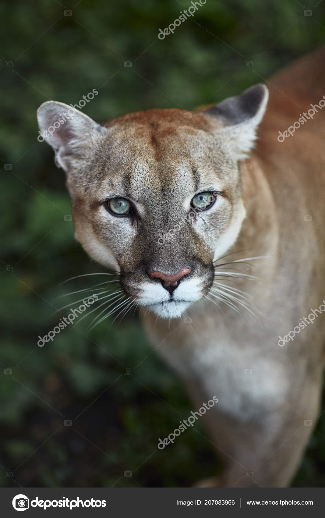 panther vs cougar vs mountain lion