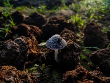 Coprinopsis is a genus of mushrooms in the family Psathyrellaceae. Coprinopsis was split out of the genus Coprinus based on molecular data.