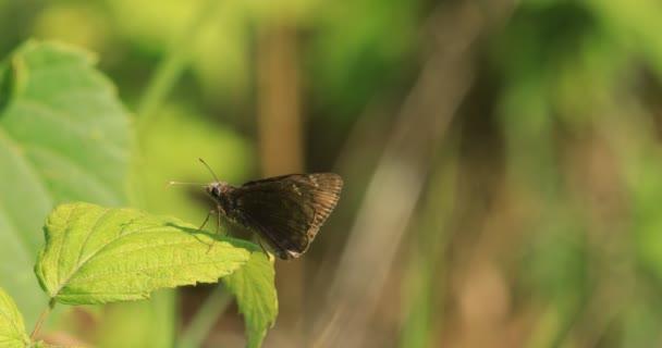 Északi Broken-kötőjel, Wallengrenia egeremet, pillangó pihen 4k