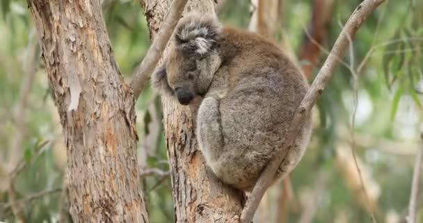Koala, Phascolarctos cinereus, on a tree 4K