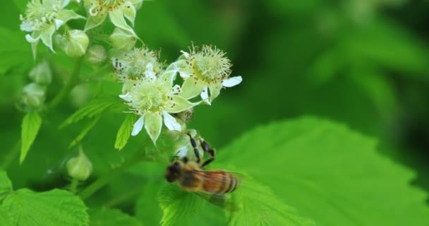 Honigbienen, Bienenarten, Pollen sammeln 4k