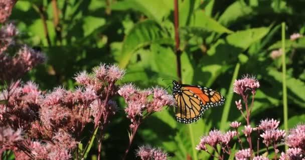 Monarch Butterfly, Danaus plexppus, on Swamp Milkweed 4K