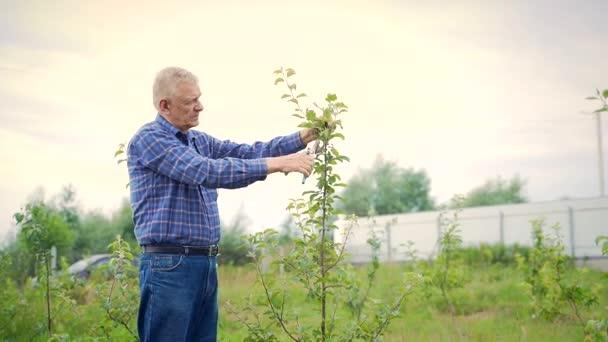 Gyümölcsfák metszése kert. Idősebb ember, a farmer egy privát kertben gondoskodik az almafáról. nyírás módszer gruzbek. Fiatal kis fák. mezőgazdasági és kertészeti koncepció