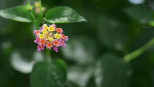 Lantana camara, más néven spanyol zászló vagy nyugat-indiai Lantana, egy faj virágzó növény a verbéna család