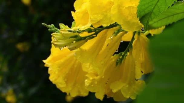 Ornamental Tree Plants Ginger-Thomas Yellow Flower