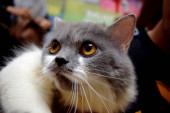 zblízka portrét roztomilé šedé a bílé domácí kočky