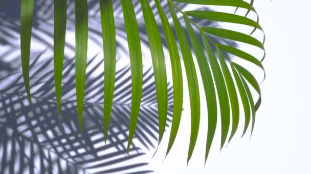 green palm leaf and shadow in the wind blowing on white wall background