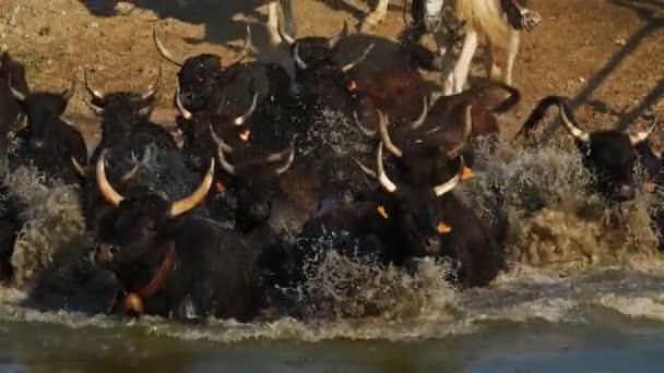 Camargue-Bullen, Bos taurus, Petite Camargue, Gard, Frankreich. Stiere überqueren einen Fluss. Die traditionellen Reiter auf Camargue-Pferden
