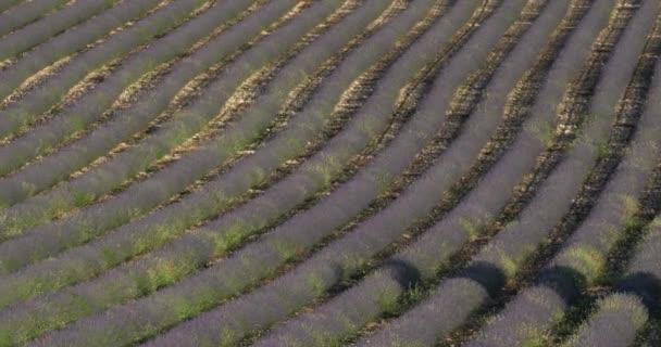 Pole levandulí, Ferrassieres, Provence, Francie