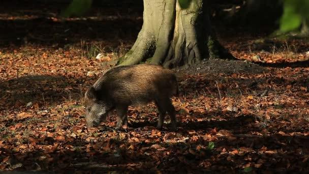 Egy vaddisznó, Normandia, Franciaország. Egy vaddisznó, aki élelmet keres a levelek alatt.