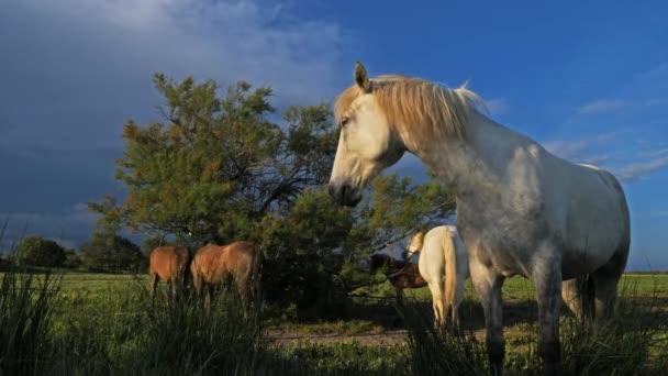 Bílí koně, Camargue, Francie