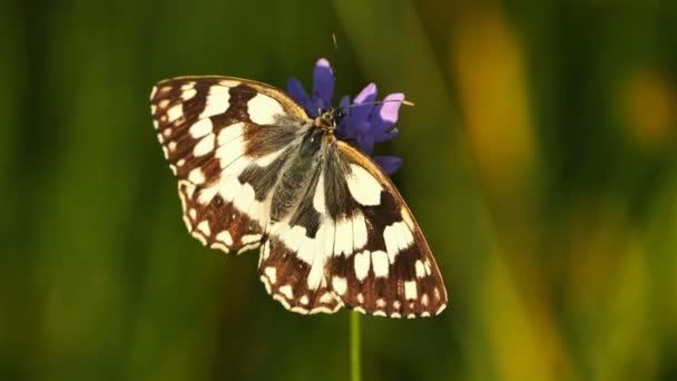 the western marbled white, Melanargia occitanica, Camargue, France. the western marbled white, is a butterfly species belonging to the family Nymphalidae