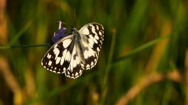 západní mramorově bílé, Melanargia occitanica, Camargue, Francie. je druh motýla, který patří do čeledi Nymfalidae