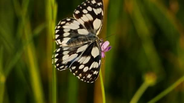 a nyugati márványfehér, Melanargia occitanica, Camargue, Franciaország. a nyugati márványfehér, a Nymphalidae családba tartozó pillangófaj