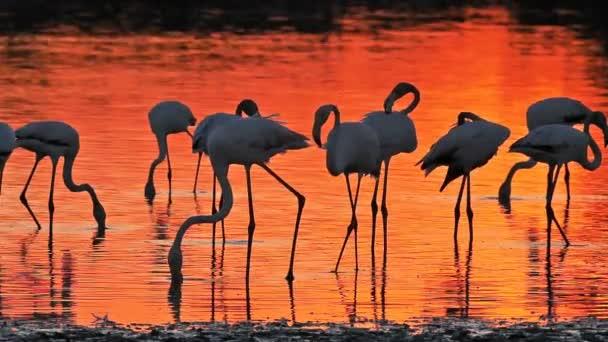 Greater Flamingos, Phoenicopterus roseus, Pont De Gau, Camargue, Franciaország