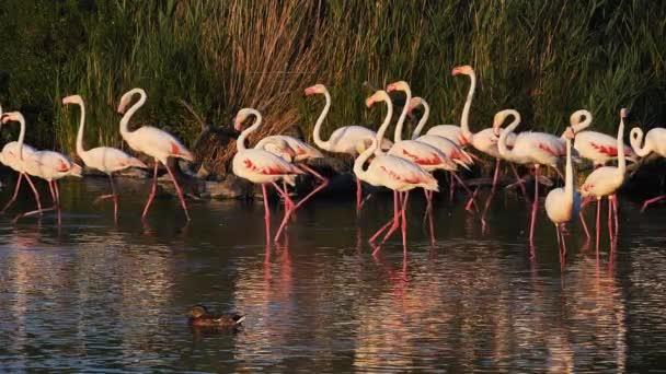 Flamingos, Phoenicopterus roseus, Pont De Gau, Camargue, Frankreich