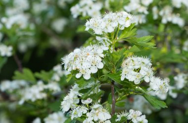 wild fruit tree photos with white flowers