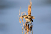 Fotografie eine mittelgroße Grasmücke mit braunem, gestreiftem Rücken und Flügeln, die vor blauem Himmel auf einem Schilf hockt