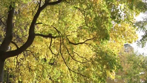 schöner Herbstbaum. Baum in gelben, gelben Blättern. schönes Licht. Blätter wiegen sich im Wind