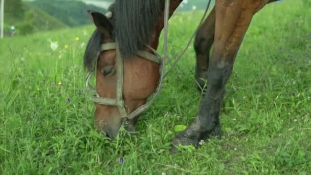 A brown horse nibbles and chews grass