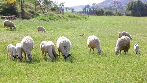 Krmení ovcí na trávě. Toto burzovní video obsahuje skupinu ovcí na poli během jasného a jasného dne. Ovce jedí zelenou trávu a jejich srdce.